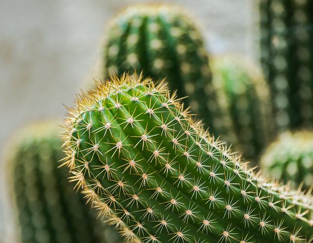 Cactus ( Botanical Gardens) (5) Valencia (Olympus OM-D EM1-II & Panasonic -Leica G 35-100mm f2.8 Telephoto Zoom) (1 of 1)