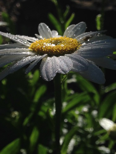Bejewelled Daisy