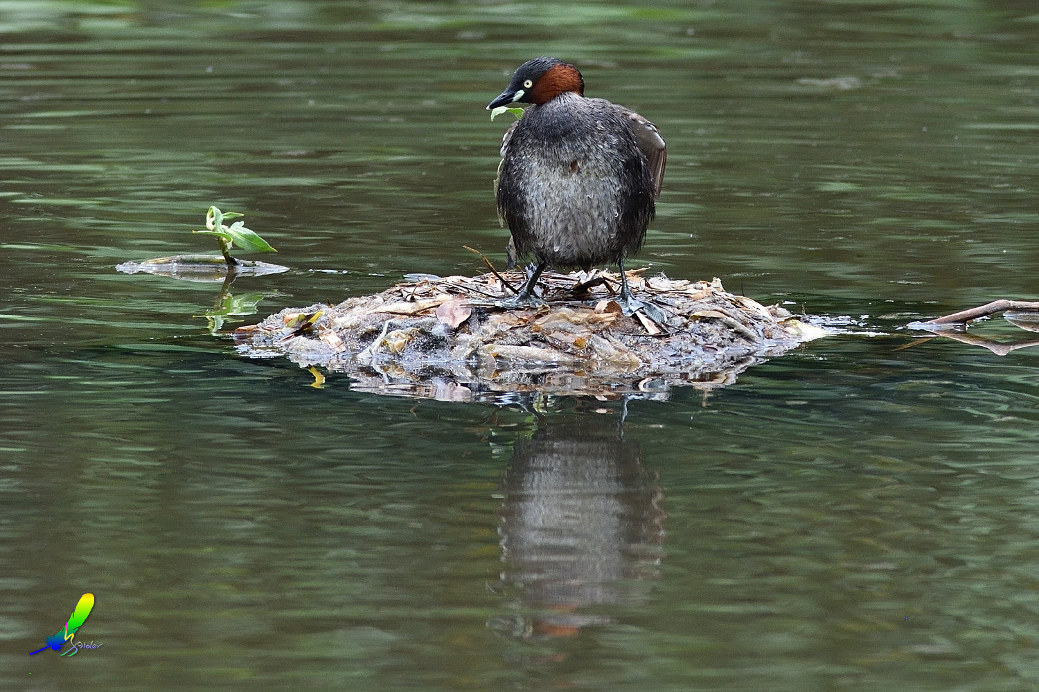 Little_Grebe_5717