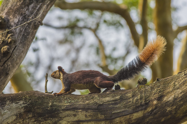 The Indian Giant Squirrel