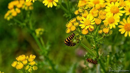 Caterpillar Cinnabar moth on ragwort