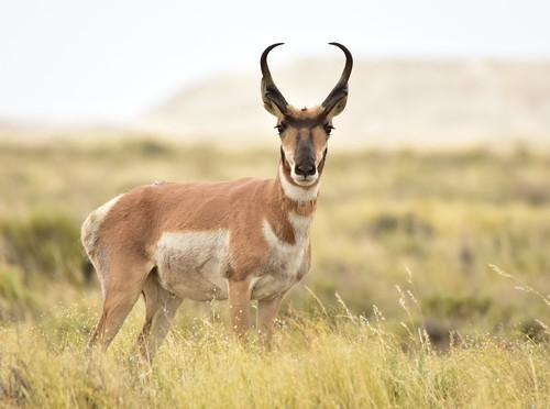 What Is Ce >> Berrendo Americano (Subspecies Antilocapra americana americana) · NaturaLista