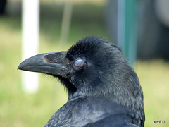 See no Evil..........Raven.  Corvus corax