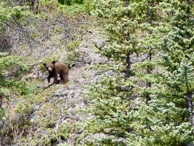 24 Bear cub