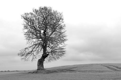 Einsamer Baum am Hessenstein (Kreis Plön)