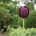 Queen of Night Tulip, Duluth Rose Garden by Sharon Mollerus