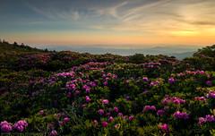 Rhododendron Dreams 作者 Matt Williams Gallery