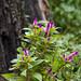 Small photo of Celosia, the garden stump's new neighbor