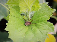 Harry the Harvestman
