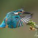 Kingfisher landing 2
