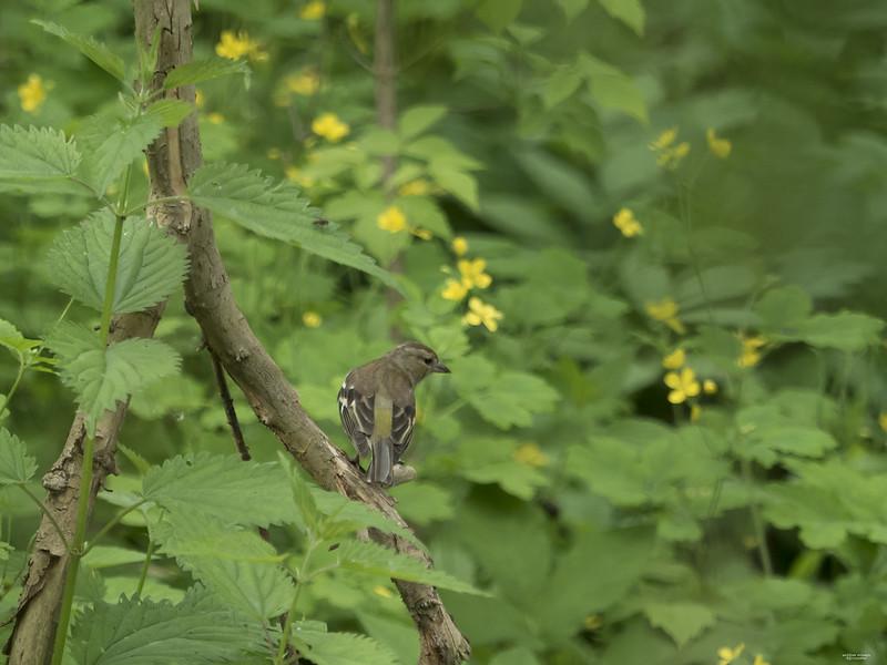 B: Common Chaffinch (Fringilla coelebs)