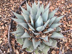 Forest Agave