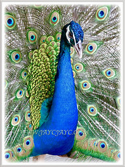 Each feather of the Peacock is tipped with an iridescent eyespot that is ringed with blue and bronze