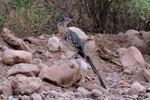 #56 Greater Roadrunner