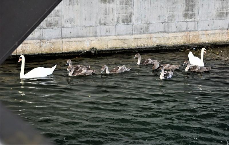 Swans 14.07 (7)