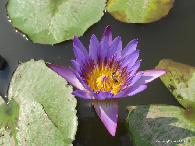 Purple Waterlily - Royal, Canon IXUS 220HS