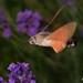 DSC04886 - Kolibrievlinder ( Macroglossum stellatarum ) - Hummingbird Hawk-moth by Arnoldus1942