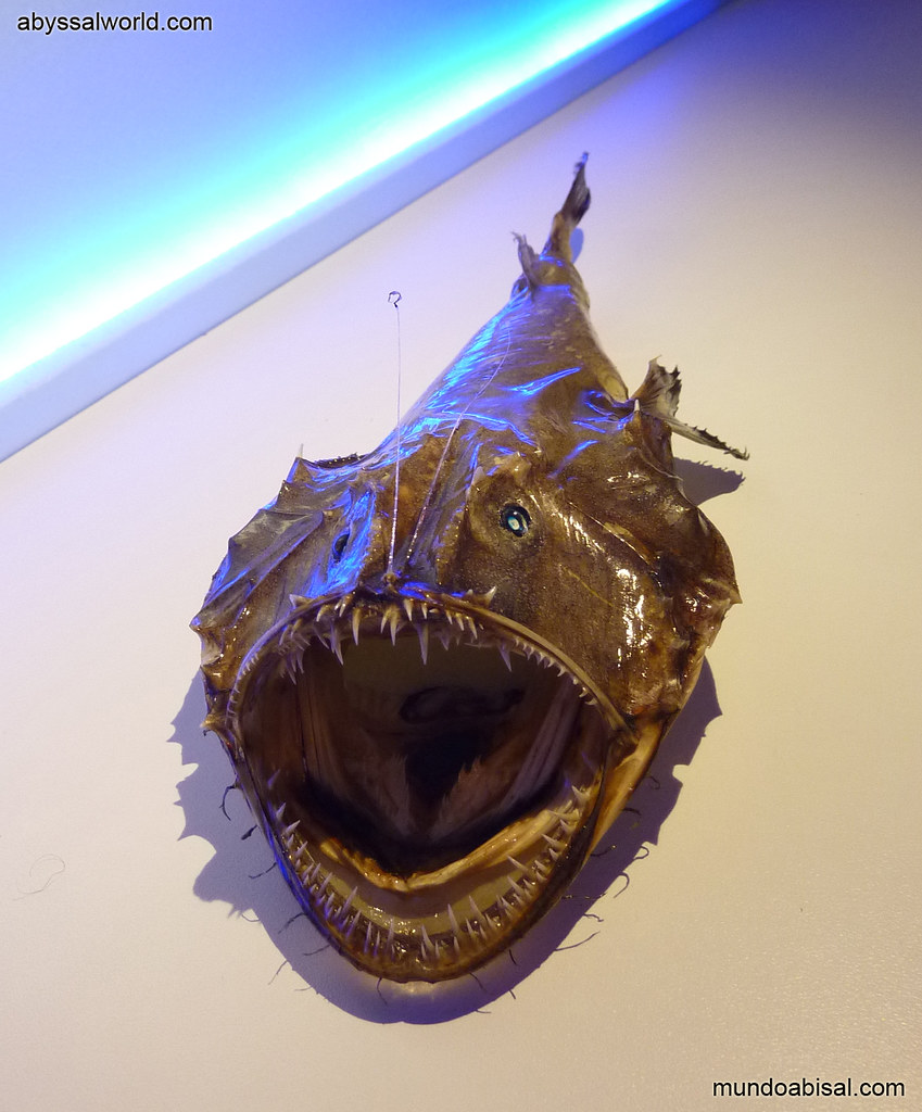 TAXIDERMY DEEP SEA MONSTER ANGLERFISH LOPHIUS