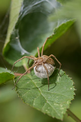 Pisaura mirabilis female with egg-sac