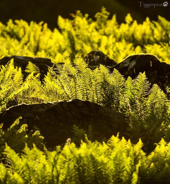 Ferns backlit, Nikon D3200, AF-S Nikkor 300mm f/4E PF ED VR