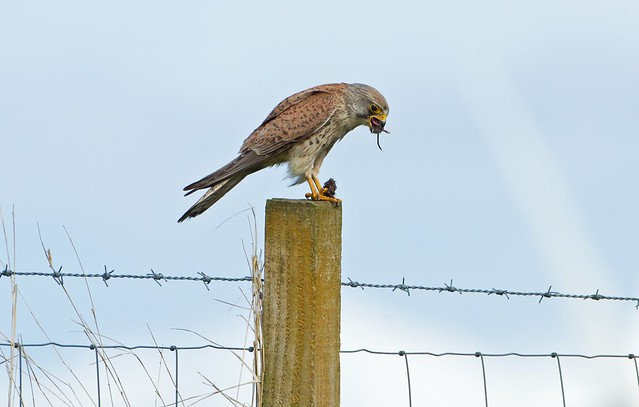 Kestrel with a mouthful, Canon EOS-1D MARK IV, Canon EF 500mm f/4L IS