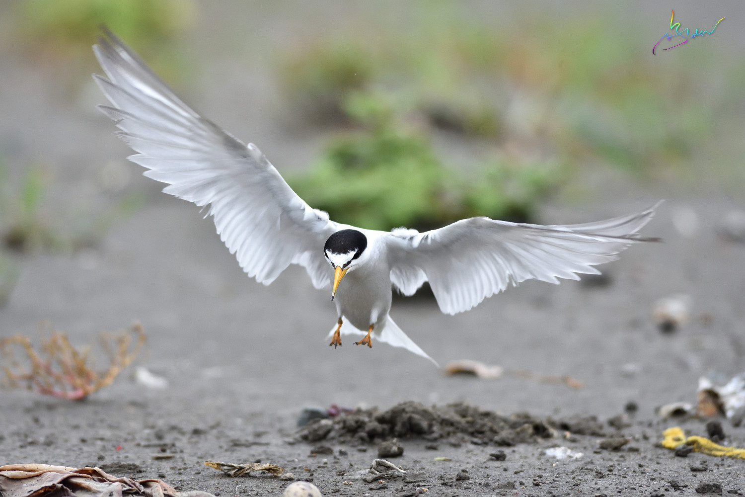 Little_Tern_4459