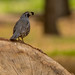 California Quail by Stephen R. D. Thompson