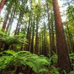 Redwoods_0204