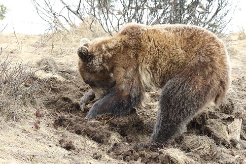 Grizzly Bear  3178