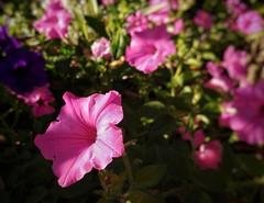 Golden hour flower 🌸 #KewGardens #Queens #LGG6