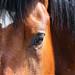 L'œil du cheval