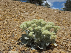 altered andesite buckwheat, Eriogonum robustum in habitat