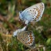 Silver-studded blues mating