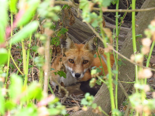 Hiding Red fox-San Pedro (1)