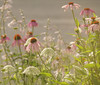 Coneflowers Queen Anne's Lace