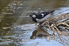 Magpie - lark ( Just right )