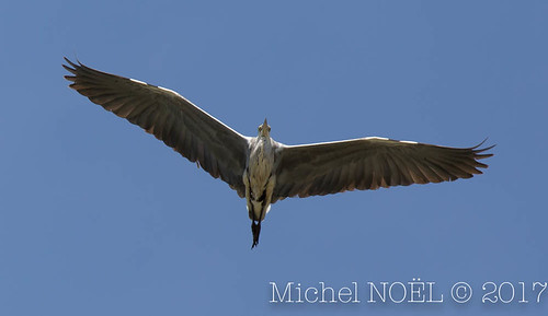 Héron cendré Ardea cinerea - Grey Heron : Michel NOËL © 2017-7062.jpg