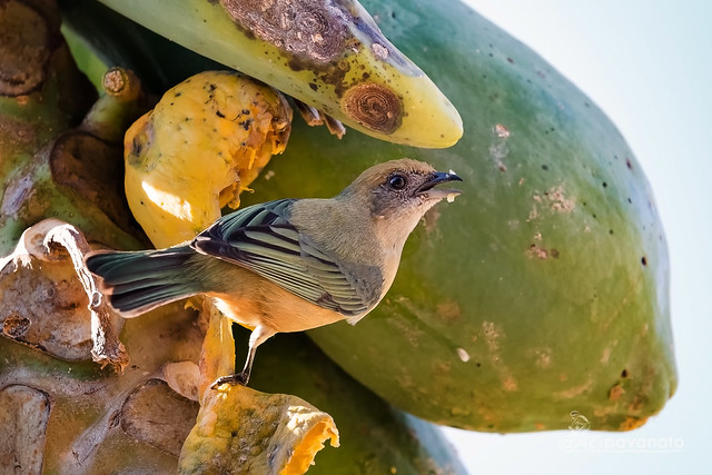 Saíra amarela - Fêmea - (Tangara cayana) - Bauru - SP - Brasil