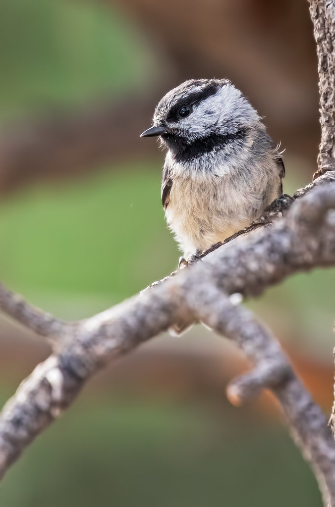 Mountain-Chickadee-36-7D2-062517