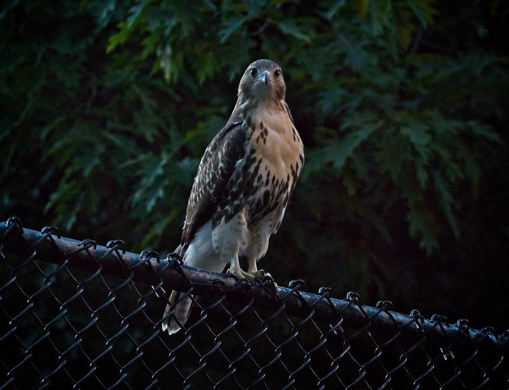 Tompkins fledgling #1 after dark