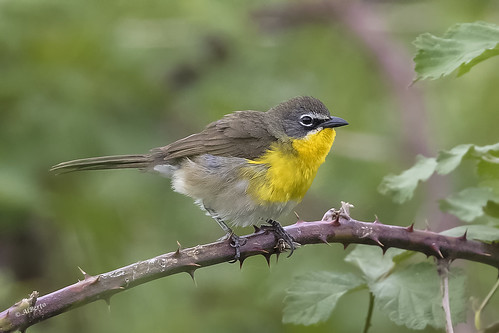 Yellow-breasted Chat / Paruline polyglotte
