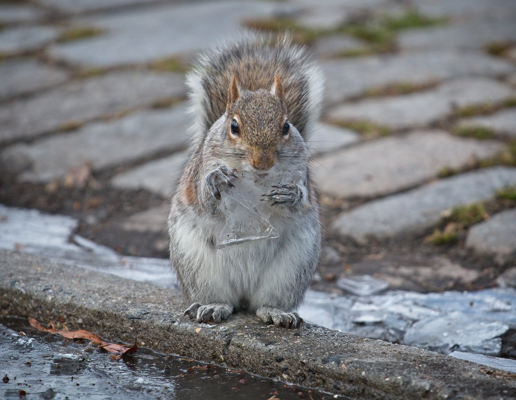 Squirrel eating ice