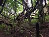 Ancient pohutukawa tree, Tiritiri Matangi Island