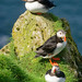 Puffins on Mykines - Faroe Islands 1 by baldheretic