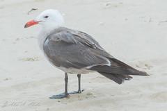 Heermann's Gull - Adult - July