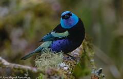 3--La Tangara Real es una ave que se encuentra en los Andes y se caracteriza por su llamativo color turquesa en la cabeza contrastando con su cuerpo de color negro. Su nombre Tangara deriva de la lengua Tupí y significa bailarín.Cyanicollis =Azul