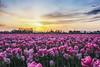 Pink Tulips, Skagit Valley Tulip Festival