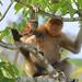 Proboscis female&young (Andy Hawkins)