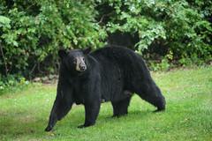 Bears-8