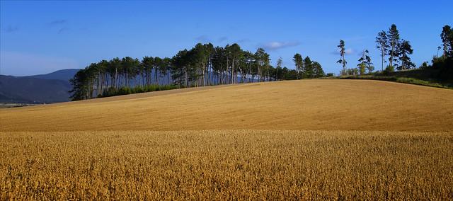 Summer wheat fields in Slovakia